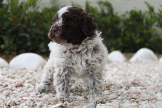Roi il nostro cucciolo di lagotto nato il 25 aprile